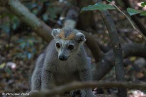 Lémur couronné, femelle (Madagascar)