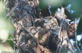Lépilémur septentrionalis, nocturne (Madagascar)