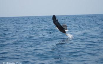 Aigle pêcheur (Malawi)