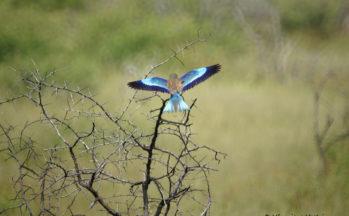 Rollier à long brin (Namibie)