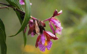 Orchidée bambou (Pérou)