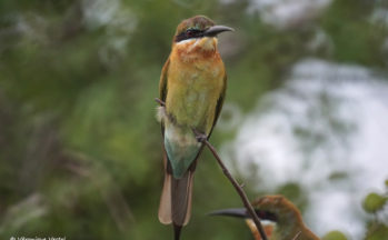 Guépier d'Orient (Sri Lanka)