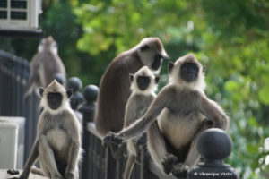 srilanka_2705_Embilipitiya_Langur Gris