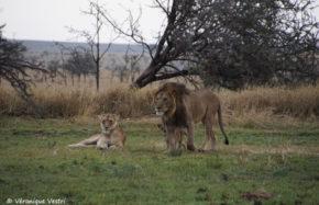 Lionne - Lion (Tanzanie)
