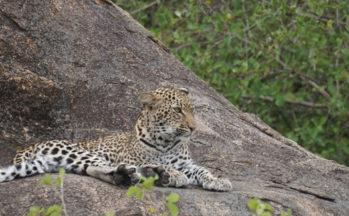 Léopard (Tanzanie)