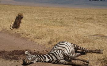Lionne avec sa proie (Tanzanie)