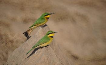 Guépiers nains (Tanzanie)