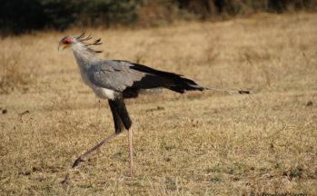 Serpentaire (Tanzanie)