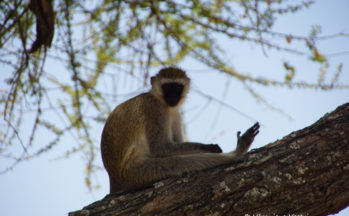 Vervet (Tanzanie)