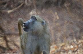 Babouin doré (Zambie)