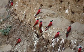 Guépiers carmins (Zambie)