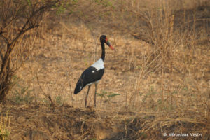 Jabiru (Zambie)