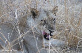 Lionne (Zambie)
